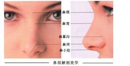 关于鼻小柱延长后日常知识叙述